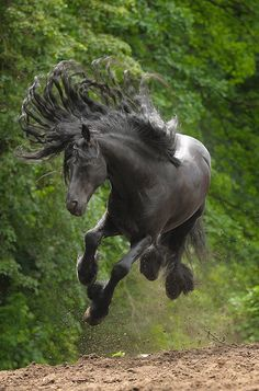 Horses: A fabulous flying Friesian! Spontaneous airs above the ground are always wonderful, as long as one isn't mounted. All four hooves off the ground! All The Pretty Horses, Beautiful Horses, Animals Beautiful, Cute Animals, Wild Animals, Beautiful Beautiful, Black Animals, Beautiful Things, Black Horses