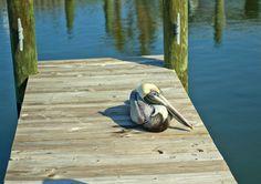 Anna Maria Island Pelican