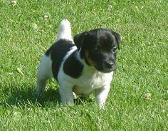 18 Best Jack A Bees Type Of Dog Images Beagle Beagles Dog Types