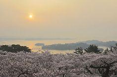 松島の桜と朝日 西行戻しの松公園