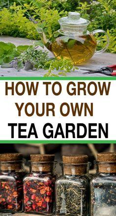 Herb garden design - How to Grow Your Own Tea Garden – Herb garden design Herb Garden Design, Veg Garden, Garden Plants, Garden Ideas, Vegetable Gardening, House Plants, Growing Tea, Tea Plant, Meditation Garden