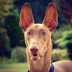 Pharaoh Hound Qairo.  Handsome boy at 10 months.