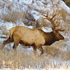 . Elk Pictures, Hunting Pictures, Elk Hunting, Animal Games, Antlers, The Great Outdoors, Montana, Alaska, Deer