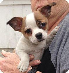 Union City, TN - Corgi/Jack Russell Terrier Mix. Meet Mary, a puppy for adoption. http://www.adoptapet.com/pet/17619264-union-city-tennessee-corgi-mix