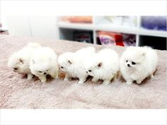 Tiny Micro Teacup Pomeranian Puppies For Rehoming - Sydney . Micro Teacup Pomeranian, Teacup Puppies, Pomeranian Puppy, Cute Puppies, Cute Dogs, Dogs And Puppies, Pomsky, Doggies, Cute Baby Animals
