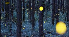 Fireflies turn dusk to disco in dazzling time-lapse video #nature #fireflies #video