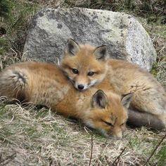 Cuddly fox kits! - Imgur