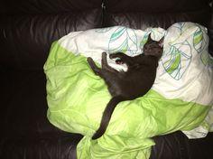 Sleeping Havana Brown kitten