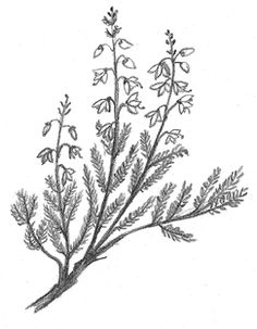 Scottish heather drawing.