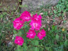 meu jardim, mini rosa