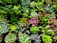 There's a lot to love about gardening with succulents. These attractive plants are drought-tolerant and low-maintenance, making succulents ideal for busy gardeners of all ages. Under the right growing conditions, these carefree plants rarely suffer from diseases or pests. To get you started, here are several helpful tips for growing succulents.