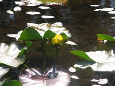 Waterlily I took when camping