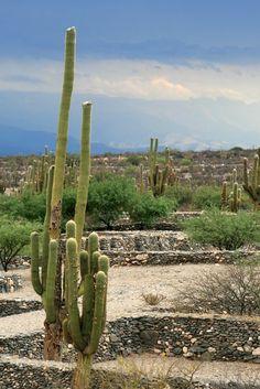 Cactus de salta argentina cactus pinterest salta for Cactus argentina