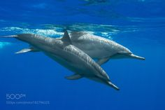 Spinner Dolphins by chuckcbg #nature #photooftheday #amazing #picoftheday #sea #underwater