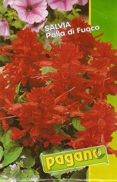 Salvia Palla di Fuoco - Semilandia