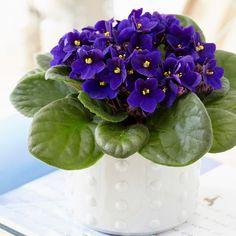 Buy African violet Saintpaulia 'Top Dark Blue': Delivery by Waitrose Garden in association with Crocus Hanging Plants, Indoor Plants, Flowering House Plants, Types Of Ferns, Lipstick Plant, Saintpaulia, Peace Lily, Spider Plants, Gardens