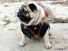 Pug sitting on the sand / http://europug.eu/sitting-pug-sand/