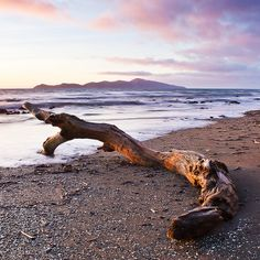 A twisted but smooth tree stumps sits in the late evening sunlight on Paekakariki Beach, Kapiti Coast, North Island, New Zealand. Family Days Out, New Zealand, Natural Beauty, Places To Go, Late Evening, Coast, Smooth, Tree Stumps, Island
