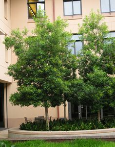 SelecTree - A tree selection guide for California Landscape Architecture, Landscape Design, Garden Design, Drought Tolerant Trees, Lee Garden, Baumgarten, Garden Trees, Small Trees, Native Plants