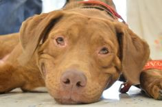 OLIVER! is an adoptable Labrador Retriever Dog in Charlotte, MI. SAVE A LIFE...ADOPT A HOMELESS PET! Oodles of Oliver! This sweet boy was found wandering and landed in a Michigan shelter. The shelter ...