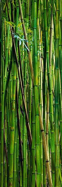 There is something very special about being in a bamboo forest. The smell, the sound of the bamboo clicking together like chimes, and the gorgeous soft lighting. It's a totally zen experience. In the Chinese culture, bamboo is a symbol of longevity. Peter Lik Photography, Fine Art Photography, Landscape Photography, Go Green, Green Colors, Bright Green, Zen, Bamboo Tree, Shades Of Green