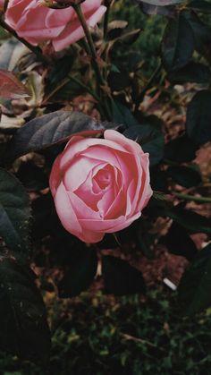 #pinkrose Rose, Flowers, Nature, Plants, Garden, Pink, Garten, Roses, Naturaleza