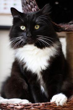 5 ways how to banish cat pee stink  Cityscape Bliss // Naughty Felines, black and white tuxedo cat kitten