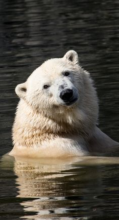 A polar bear in the water - Bären - Animals Cute Baby Animals, Animals And Pets, Funny Animals, Wild Animals, Love Bear, Bear Art, Mundo Animal, Fauna, Animal Photography