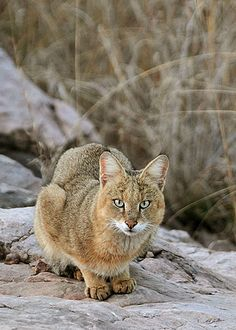 Jungle Cat (Felis chaus) Small Wild Cats, Big Cats, Cool Cats, Cats And Kittens, Large Animals, Animals And Pets, Baby Animals, Cute Animals, Wild Animals