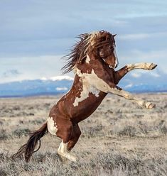 """""""Wild thing…you make my heart sing!"""" """"Wild thing…you make my heart sing! Most Beautiful Horses, All The Pretty Horses, Animals Beautiful, Horse Rearing, Andalusian Horse, Friesian Horse, Arabian Horses, Wild Horses, Wild Mustang Horses"""