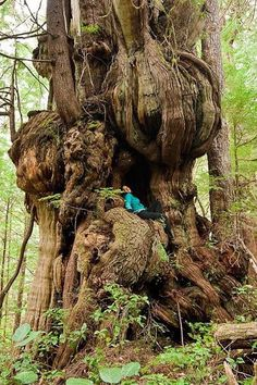 """Andrew Heald on Twitter: """"This alien-like red Cedar grows near the Cheewhat Cedar in Pacific Rim National Park on Vancouver Island, BC Via @AncientTreesATF FB page https://t.co/RuurAqVKnD"""""""