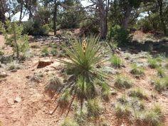 Banana Flower at Mesa Verde