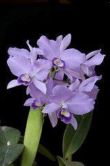 Cattleya Portia 'Baronesa'  var. coerulea - 1 (Luiz Filipe Varella) Tags: orchids x orchidaceae cattleya laelia portia gloriosa baronesa hybrids hibrido bowringiana hbridos labiata guariantha