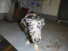 HUMMY is an adoptable Catahoula Leopard Dog Dog in Thomasville, GA.  ...