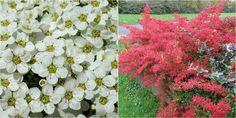 Espino de fuego es el arbusto perfecto para dar color a tu vergel los 365 días del año.
