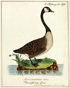 Canada Goose hats replica cheap - 1000+ images about Birds and animals on Pinterest | Vintage ...