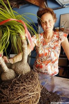How To Care For and Repot A Ponytail Palm Ponytail Palms are one of my favorite plants. They're an easy houseplant to care for in your garden. Here's how to care for & repot a Ponytail Palm! Ponytail Plant, Ponytail Palm Care, Cactus Plants, Garden Plants, Indoor Plants, House Plants, Trees And Shrubs, Trees To Plant, Pony Tail Palm