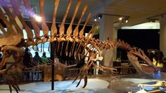 Skelett eines Spinosaurus im Naturkundemuseum Berlin