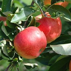 Apple (Malus domestica) - temptation (Diffenbaugh) photo is Malus domestica (Gala)