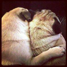 Pugs are very loyal