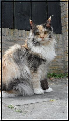 Maine Coons are my favorite cat! This one is especially unique.