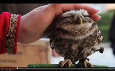 The adorable baby owl that loves to be pet! Precious!