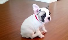 Watch uber cute Puppy video on next page. (Hilarious) Imagine you feel itching and you cant reach the spot where its itching. Not a enjoyable thing, right? Ok, lets talk about the Puppy in the video. The French Bulldog Puppy is determined to...