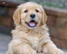 Golden Puppy There aren't many things cuter in this world than a Golden Retriever puppy. - These Golden Retriever puppies love to attack with love and kisses. Prepare for a cuteness overload! Cute Dogs And Puppies, I Love Dogs, Doggies, Chubby Puppies, Cute Animals Puppies, Perros Golden Retriever, Golden Retrievers, Golden Retriever Price, Retriever Puppy