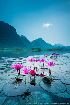 Morning Lily (Wild water lily blossomed in a river steam in Suoi Yen, Ha Tay near Ho Noi capital, Vietnam.) by Andre Luu on 500px
