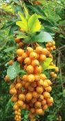 Duranta Erecta Seeds, Duranta Repens, Golden Dewdrop