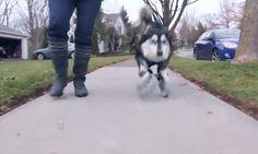 #Derby, el #perro inválido que camina gracias a la #impresión #3D ► www.facebook.com/imprimaen3d
