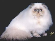 I used to breed cats!  show quality chocolate and lilac persian and himalayans. Lots of work but lots of fun!  GC, RW Yo-Mans Amazing Grace, Lilac Point Himalayan