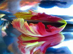 Originales flores fotografía Parrot Tulip por WittesHouseofFlowers