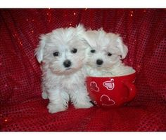 Maltese puppies. Looks just like my dog did when he was a pup.